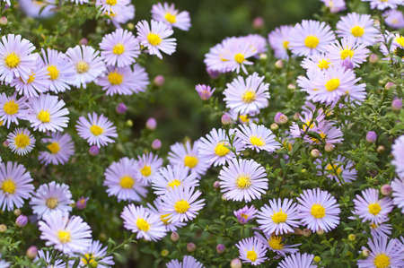 Autumn beauties  Aster perennis