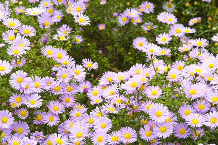 Autumn flowers  Aster perennis