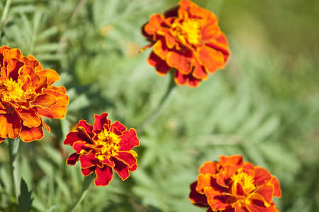 Tagetes flowers - autumn background