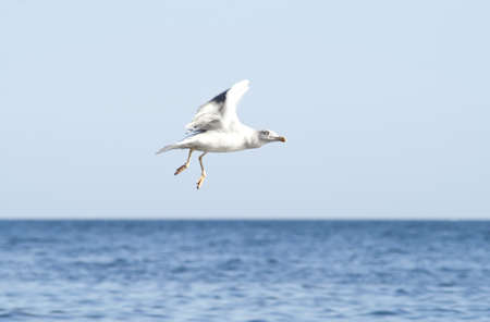 Seagull flying photo