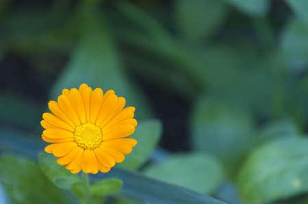 Calendila orange flower Stock Photo
