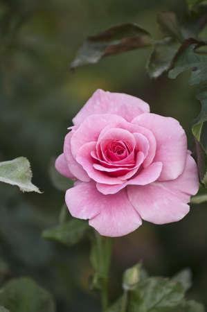 Pink rose Stock Photo - 16434678