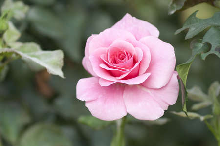 Pink rose on a green background
