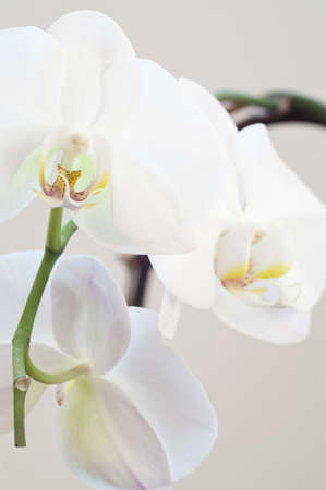 Three white orchid flowers
