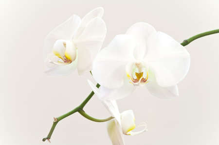 White orchid flowers on a branch