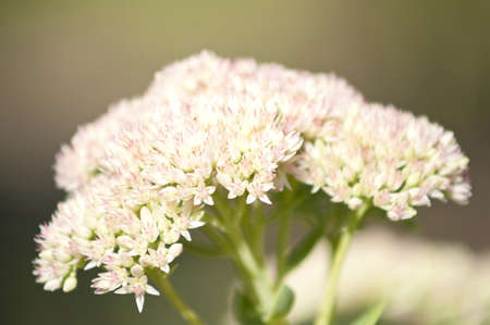 Macro of yarrow common herb Stock Photo - 16921866