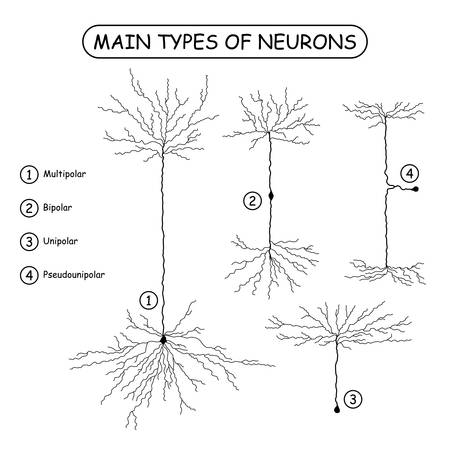 Four main types of neurons, isolated on white. Realistic neuron silhouette vector illustration. Brain neural cells set. Medical or science design elements.