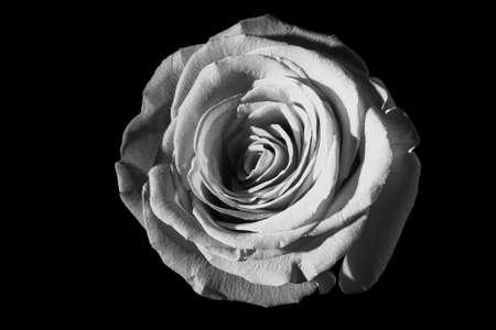 bn: Rosa bianca