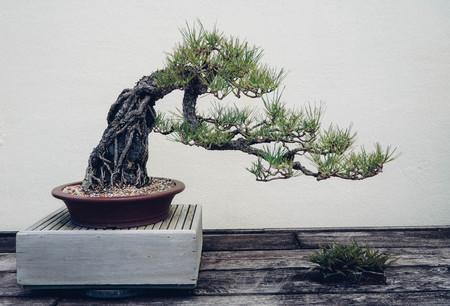 RBol bonsai de pino Foto de archivo - 56323634