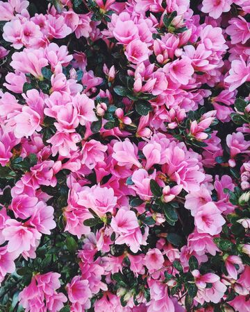 Blooming azalea flowers