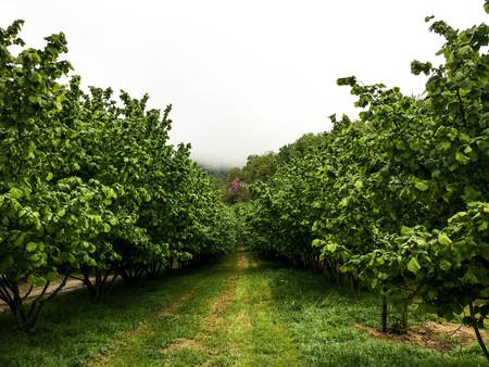 Hazelnuts in Cortemilia, Piedmont, Italy