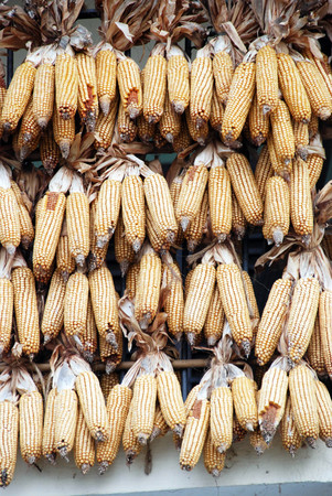 callus: Corn cobs interwoven with each other to dry