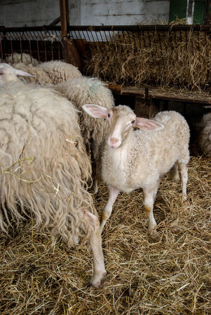 A flock of sheep in a sheep Stock Photo