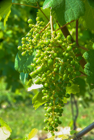 Nebbiolo grapes in Langhe vineyards, Piedmont - Italy