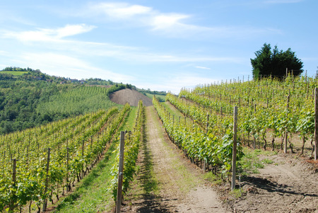 View of the Langhe vineyards, Piedmont - Italy