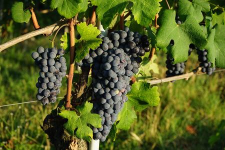 Vineyards in Cannubi, Barolo Piedmonte - Italy Stock Photo