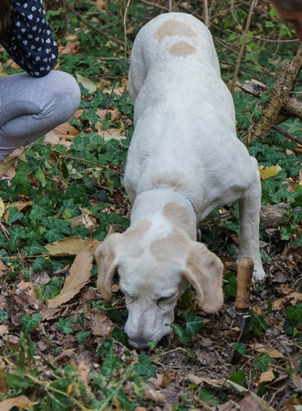 Rocky: dog for truffles research, La Morra - Italy