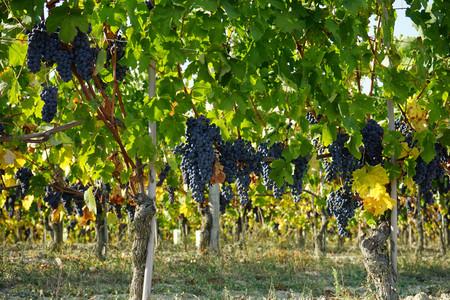 Vineyards waiting for harvest