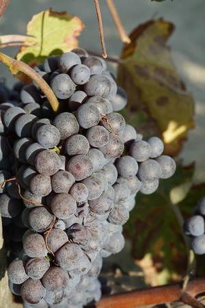 monoculture: Vineyards waiting for harvest