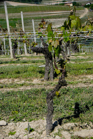 Detail of the vine in a Langhe vineyard