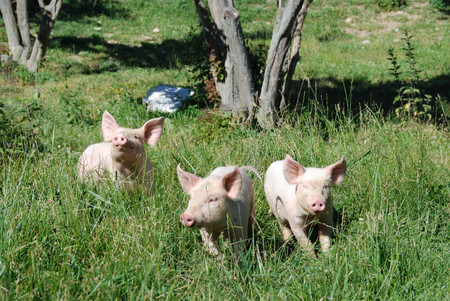 Some piglets run in a meadow Stock Photo