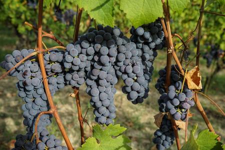 Vineyard on the hills of Barolo, Piedmont - Italy Stock Photo