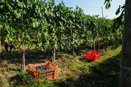 Harvest in a vineyard at Cannubi in Barolo, Piedmont - Italy