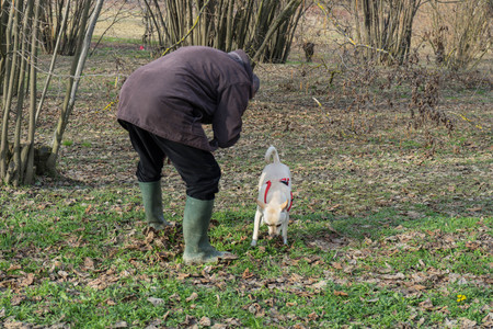 A young truffles dog is looking for truffle in a hazel grove of the Langhe, Piedmony - Italy Standard-Bild