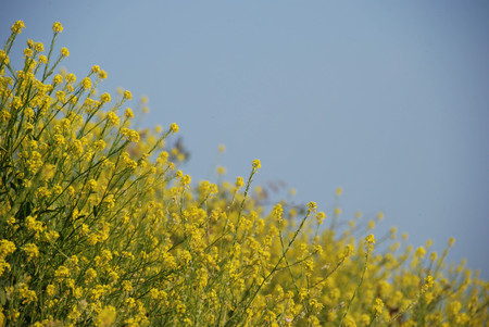 A field with yellow flowers