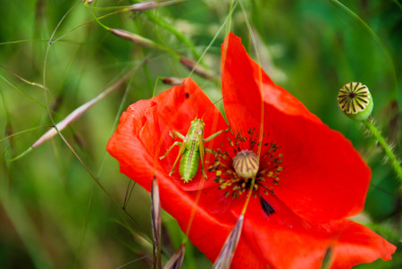 In a green meadow a red pavar Banco de Imagens