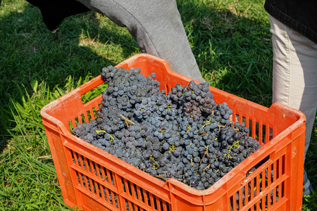 Basket with bunches of Nebbiolo grapes during the harvest in the Cannubi region in Braolo, Piedmont - Italy