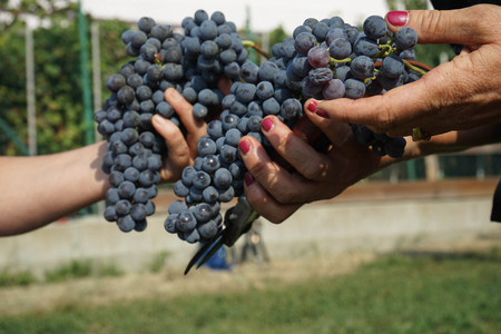Bunches of Nebbiolo grapes during the harvest in the Cannubi region in Braolo, Piedmont - Italy Banco de Imagens
