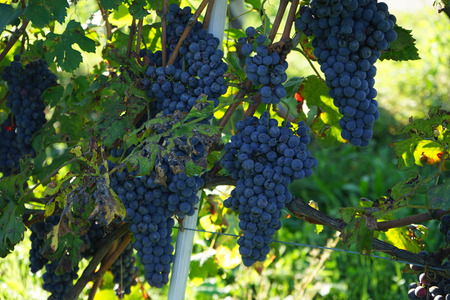 Vineyard with bunches of Nebbiolo grapes ready for harvest in the Langhe, Piedmont - Italy