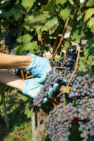 Cutting of grape bunches during the harvest in the Cannubi region in Braolo, Piedmont - Italy