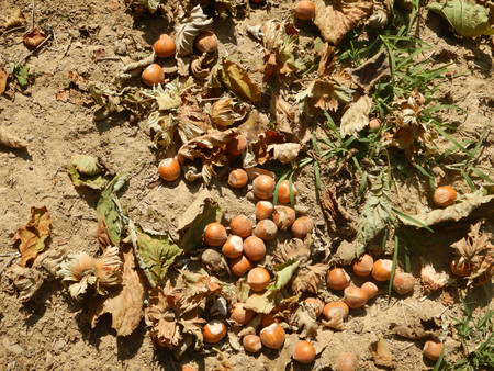 Hazelnuts on the ground ready to be harvested, Cortemilia, Piedmont - Italy Banco de Imagens