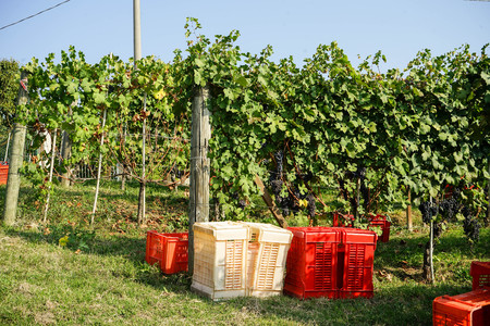 Harvesting of grapes in the Cannubi area in Barolo, Piedmont - Italy Banco de Imagens