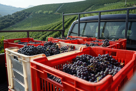 Baskets with bunches of Nebbiolo grapes during the harvest in the Cannubi region in Braolo, Piedmont - Italy