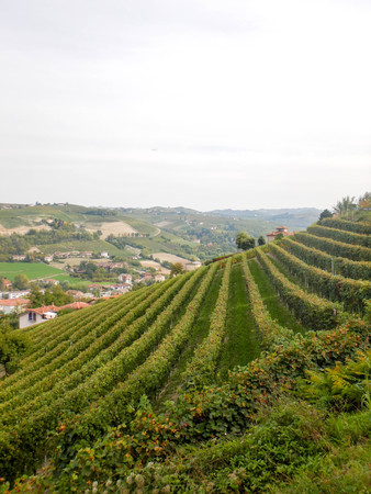 A vineyard on a hill of the Langhe near Alba, Piedmont - Italy