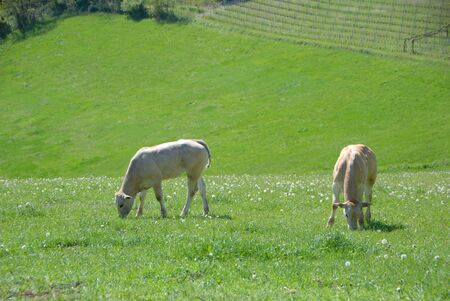 Calves grazing on the Langhe hills, Piedmont - Italy