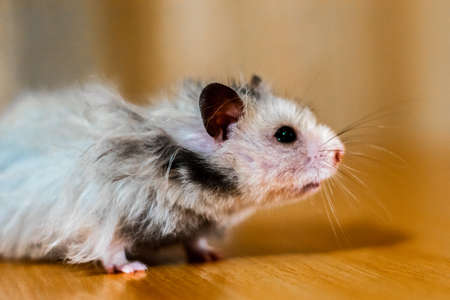 hamster with long hair Stock Photo
