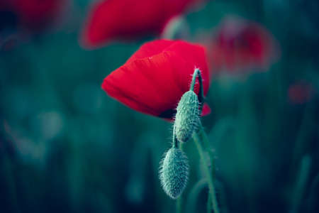 Red poppy flower in field Imagens