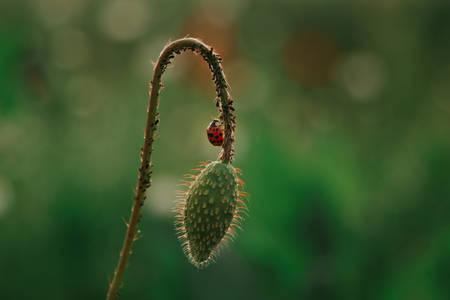 ladybug on a poppy
