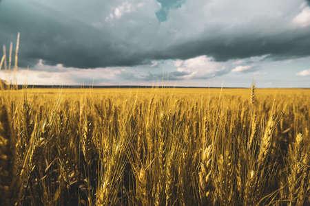 wheat field under sunset cloud sky