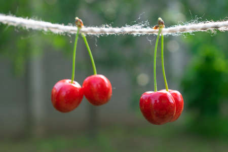 Cherries on the string in the garden on a sunny day 版權商用圖片