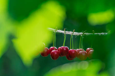 Cherries on the string in the garden on a sunny day Stock Photo