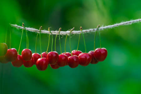 Cherries on the string in the garden on a sunny day Stok Fotoğraf