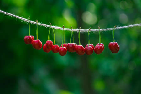 Cherries on the string in the garden on a sunny day Imagens