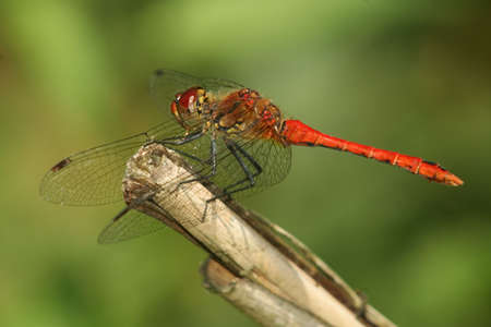 Red dragon fly resting on a straw