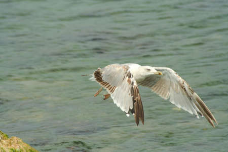 Yellow legged gull flying over the water