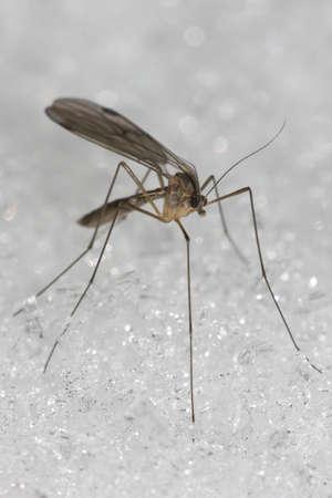 long legged fly on snow